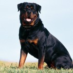 Beautiful-Rottweiler-rottweiler-13379022-1280-960[1]