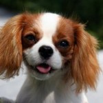 Cavalier-King-Charles-Spaniel-Puppies[1]