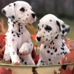 Dalmatian-puppies[1]