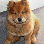 chow-chow-puppies-images[1]