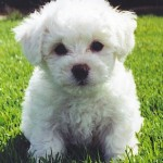 puppy-bichon-frise[1]